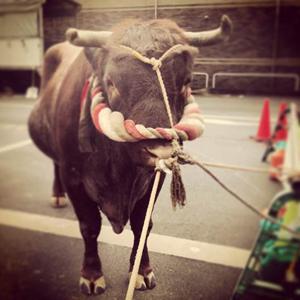 駅前では新成人を山古志村の牛もお出迎え