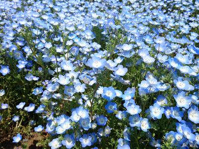 名所みはらしの丘、ネモフィラの花