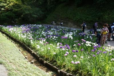 庭園の菖蒲